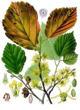 llustration-of-Witch-Hazel-plant