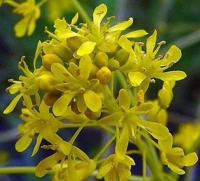 Closer-view-of-flowers-of-Woad-Plant