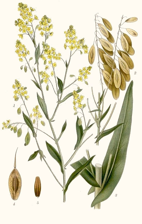 Plant-illustration-of-Woad-Plant