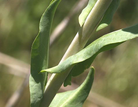 Stem-leaves-of-Woad-Plant