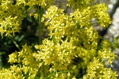Flowers-of-Woad-plant