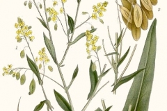 Plant-illustration-of-Woad-Plant