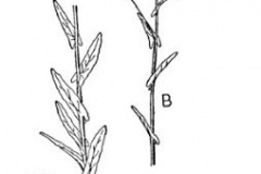 Sketch-of-Woad-Plant