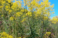 Woad-plant-growing-wild