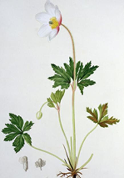 Plant-Illustration-of-Wood-anemone