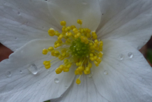 Closer-view-of-flower-of-wood-anemone