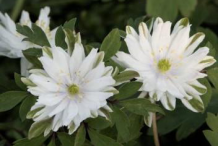 Other-variety-of-Wood-anemone