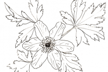 Sketch-of-Wood-anemone