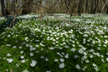 Wood-anemone-growing-wild