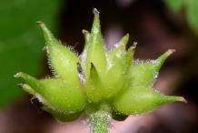 Fruit-of-Wood-anemone