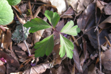 Small-plant-of-wood-anemone