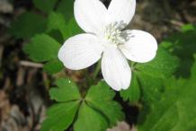 Wood-anemone-Flower