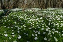 Wood-anemone-growing-wild