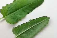 Front-and-underside-view-of-wood-betony-leaf