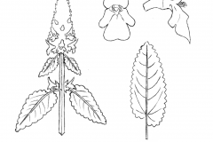 Sketch-of-Wood-Betony plant