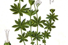 Plant-illustration-of-Woodruff