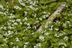 Woodruff-flowers