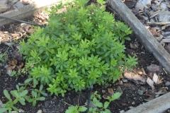 Woodruff-plant