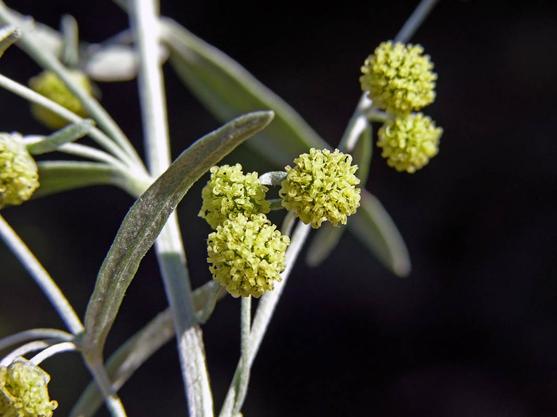 Wormwood-Flower