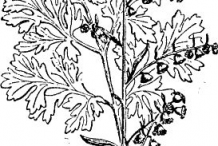 Sketch-of-Wormwood--plant