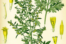 Wormwood-plant-Illustration