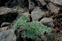 Small-Wormwood-plant
