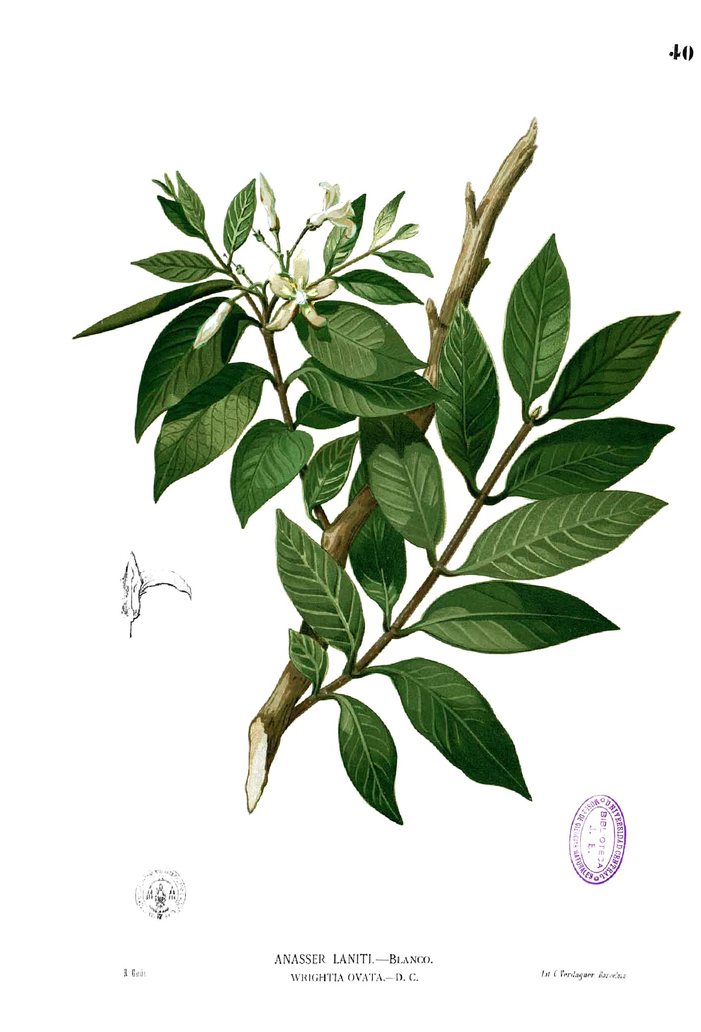 Wrightia Antidysenterica Facts And Uses
