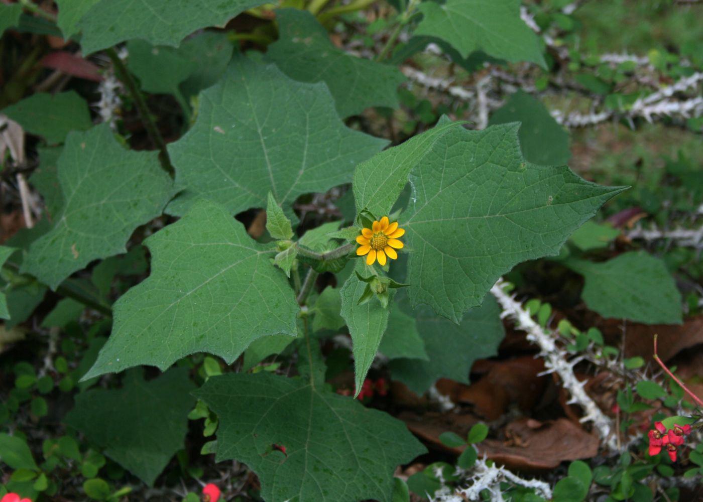 Yacon-leaves
