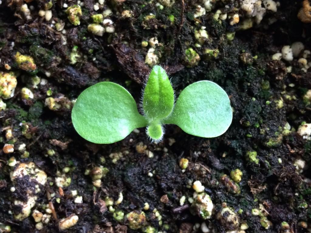 Yacon-seedling