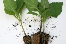 Yacon-plant