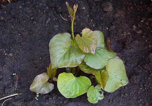 Yam-plant