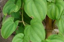 Yam-leaves