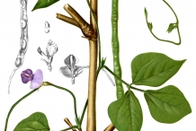 Plant-illustration-of-Yardlong-beans