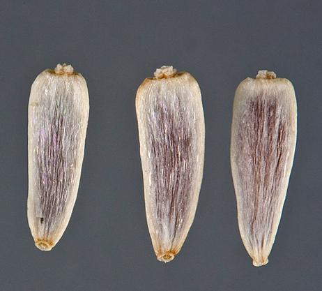 Archenes-of-yarrow-plant