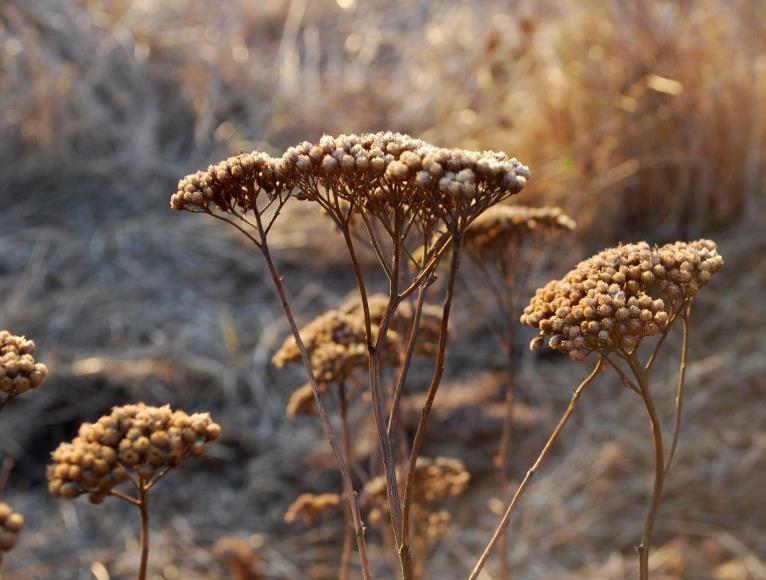 Dried-Yarrow-Plant