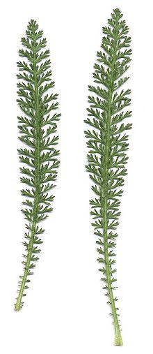 Leaves-of-Yarrow-plant