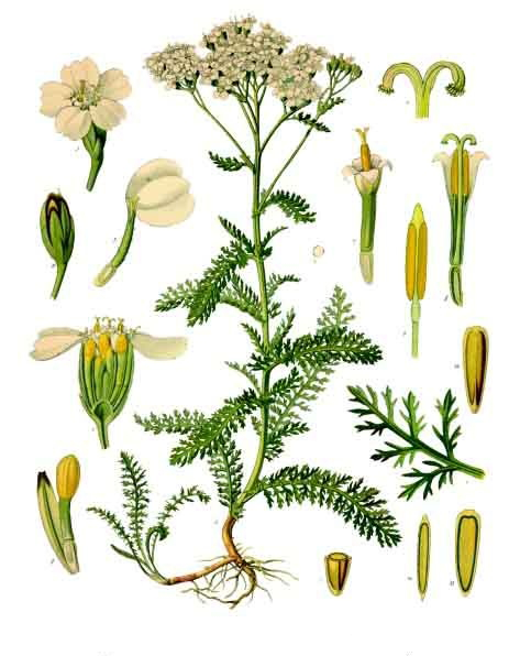 Yarrow-Plant-Illustration