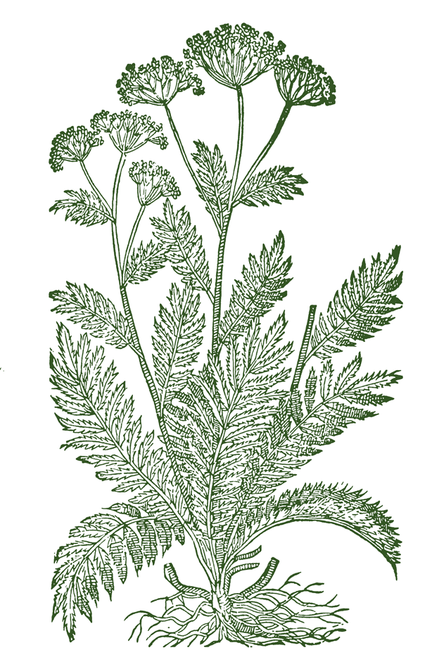 Yarrow-Plant-Sketch