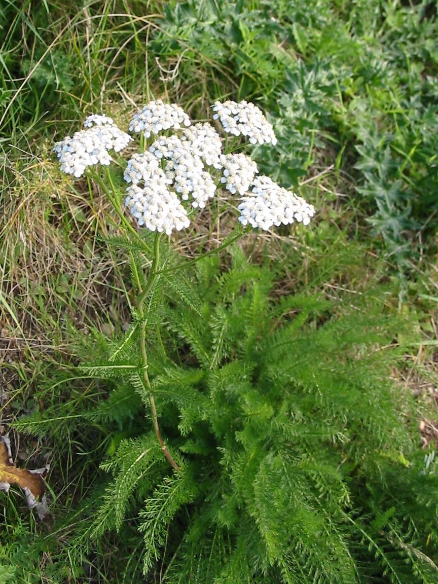 Yarrow-Plant