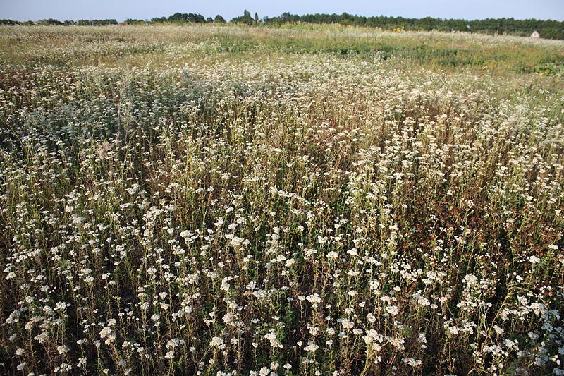 Yarrow-plant-growing-wild
