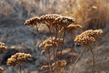 Dried-Yarrow-Plant