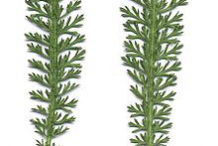 Leaves-of-Yarrow-plant