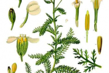 Yarrow-Plant-Illustration