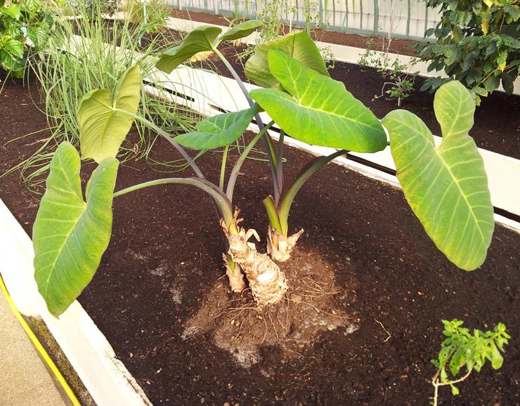 Full-plant-of-Yautia
