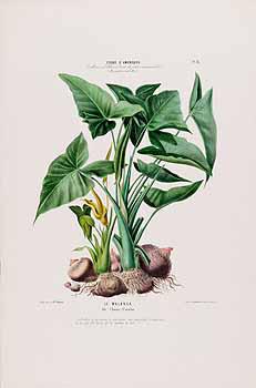 Plant-illustration-of-Yautia