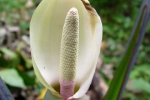 Yautia-close-up-flower