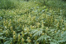 Yellow-Archangel-farm