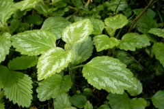 Yellow-Archangel-leaves