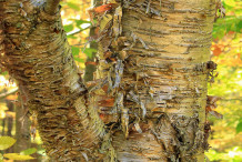 Mature-bark-of-Yellow-Birch