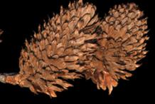Dried-Fruit-of-Yellow-Birch